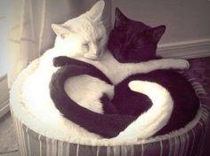 Ebony & Ivory Cats in Love!