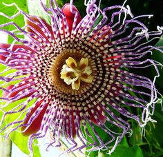 Passion flower #3  Passion flower, Passiflora decaisneana