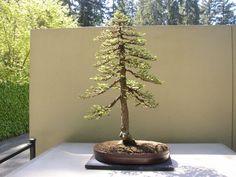 Sequoia sempervirens Coast Redwood Image
