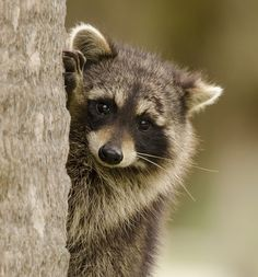 beautiful-wildlife:  Little ClimberbyPeter Brannon A racoon climbs a tree in For De Soto Park near Tampa, Florida