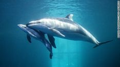 VIDEO: Baby dolphin birth. With the kick, kick, kick of its tiny tail, the Shedd Aquarium's new dolphin calf surfaced for its first breath early this week. Much dolphin info. http://www.cnn.com/videos/world/2016/04/20/new-baby-dolphin-born-chicago-acquarium-orig.cnn