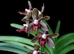 Vanda 'Naoki Kawamura' - Diamond Orchids