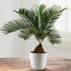 Cycas Revoluta - 1 plant Buy online order yours now