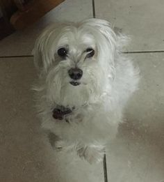 Helping Lost Pets   Dog - Maltese - Back Home