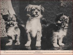 TIBETAN SPANIEL DOGS bred & owned by Mrs. Greig, vintage print, 1935