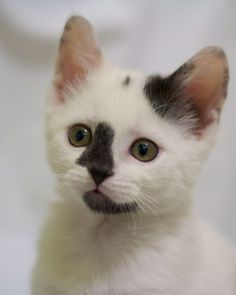 A portrait of a white kittens with grey patches on its face.
