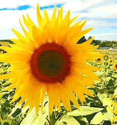 large-yellow-sunflower-close-up-animated-gif.gif (500×534)