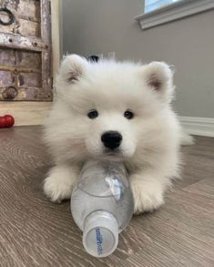 21 Incredible Pics with Samoyed Dogs Which Will Make You Smile! White Fluffy Dog, Cute Fluffy Dogs, Cute White Dogs, Fluffy Puppies, Cute Dog Wallpaper, Samoyed Dogs, Cavapoo Puppies, Yorkshire Terrier Puppies, Cute Dogs And Puppies