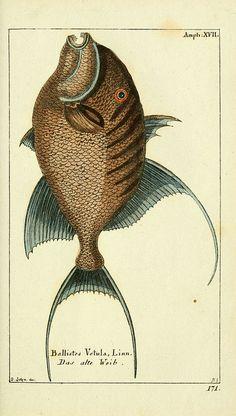 Fish -- Gemeinnüzzige Naturgeschichte des Thierreichs bd. 4 plates Berlin ;bei Gottlieb August Lange,1780-1789.