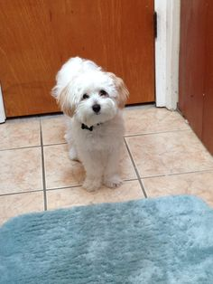♥♥ #maltipoo (This looks like my brothers dog.....Teddy.