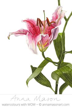 Stargazer Lily, watercolor flower portrait by Anna Mason Arte Floral, Botanical Flowers, Botanical Prints, Watercolor Flowers, Watercolor Art, Illustration Botanique, Botanical Drawings, Summer Flowers, Moon Art