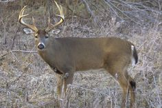 Whitetail Deer. Hunted them from Northern Alberta to Virginia