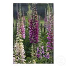 Foxglove flowers ... poster print