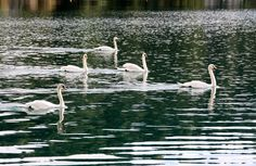 I just love swans (photo by Breda Drevenšek)