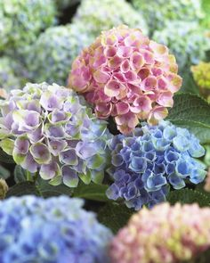 Wayside Gardens: America& Premiere Source of Choice Plants and Bulbs Since . Hydrangea Not Blooming, Plants, Front Garden Design, Violet Flower, Beautiful Flowers Garden, Beautiful Flowers, Garden Plants, Red Hydrangea, Garden Care