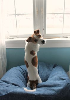 17 Things All Jack Russell Owners Must Never Forget