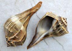 Lightning Whelk 4-6  Busycon Contrarium