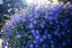 I can only hope the 20 different varieties of morning glories I planted, will grow this abundant. This will be year hoping they will reseed themselves. Morning Glory Vine, Morning Glories, Flowers Nature, Blue Flowers, Window Mural, Texas Gardening, Climbing Vines, Language Of Flowers, Flower Pictures