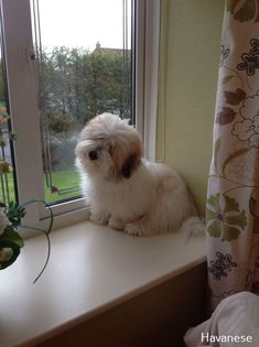 My Coton De Tulear love the biscuit coloring Bichon Havanais, Havanese Puppies, Cute Dogs And Puppies, Pet Dogs, Doggies, Coton De Tulear Dogs, Daisy Dog, Teddy Bear Dog, Best Dog Breeds
