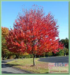 klon czerwony drzewo - Szukaj w Google