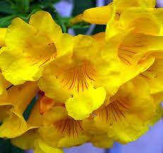 Resultado de imagem para ipe amarelo botanical illustration