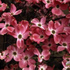 pink flowering dogwood a pink flowering dogwood tree. Black Bedroom Furniture Sets. Home Design Ideas