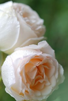 Rose 'Kaoruno' - very strong fragrance