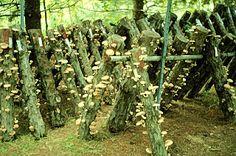Shiitake Mushrooms on logs Veg Garden, Edible Garden, Garden Plants, Growing Mushrooms At Home, Garden Mushrooms, Culture Champignon, Mushroom Cultivation, City Farm, Garden Animals