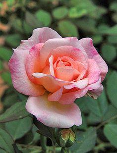 ~Floribunda Rose: Rosa Gruss an Aachen (Germany, before Romantic Roses, Beautiful Roses, Beautiful Flowers, All Plants, Garden Plants, My Flower, Flower Power, Aachen Germany, Floribunda Roses