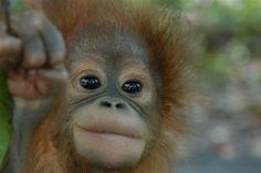 Baby Orangutan Cute Little Animals, Cute Funny Animals, Save The Orangutans, Baby Orangutan, Cute Monkey, Pug Puppies, Save Animals, Primates, Love Birds
