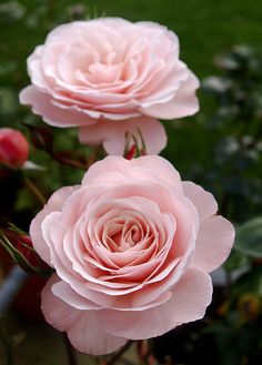"""Rose """"Sexy Rexy"""" - This New Zealand-bred rose has an awful name, though its alternative name of """"Heckenzauber"""" isn't much better. - Creamy pink colour - Floribunda Rose - Mild fragrance"""