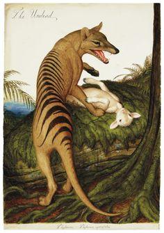 Walton Ford (b. , The Undead Extinct Animals, Prehistoric Animals, Illustrations, Illustration Art, Walton Ford, Tasmanian Tiger, John James Audubon, Animal Drawings, Art Inspo