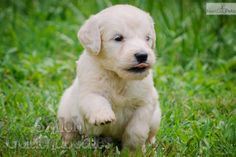 Meet Dudley a cute Goldendoodle puppy who like to run and play.