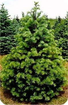 Norway Spruce Fast Growing Spruce Tree Fastest Of All