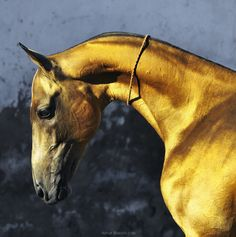 Akhal Teke - the Golden Horse. Photo by Artur Baboev