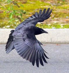 This is a beautiful photo of a crow in flight. I love the purple cast to its wings, the evenness of the feathers. Raven Tattoo, Feather Tattoos, Tattoo Bird, Tattoo Wings, Crow Art, Bird Art, Beautiful Birds, Animals Beautiful, Corvo Tattoo