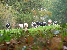 young cows in Heerlijkheid Beek