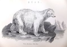 Picture of Polar Bear, Black and White Print of Bear, Antique Print, 1880s illustration, Animal Picture on Etsy, £8.00