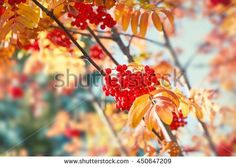 https://thumb7.shutterstock.com/display_pic_with_logo/668488/450647209/stock-photo-autumn-rowan-tree-with-red-berries-and-colorful-leaves-selective-focus-450647209.jpg