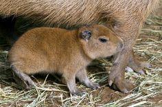 San Diego Zoo Welcomes Baby Capybara