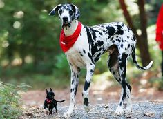 Due to his massive size, the #GreatDanes life span averages 7-10 years. There have been many cases of this dog reaching to age 12 up to 15 years old.