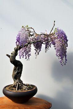 Wisteria Bonsai Tree, бонсай, home, ideas Wisteria Bonsai, Flowering Bonsai Tree, Bonsai Tree Types, Bonsai Garden, Bonsai Trees, Acer Palmatum, Ikebana, Redwood Bonsai, Mame Bonsai