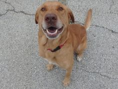 Adopted!   11/2016 Cooper is an adoptable Labrador Retriever searching for a forever family near Seguin, TX. Use Petfinder to find adoptable pets in your area.