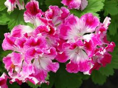 Image result for peter's choice pelargoniums