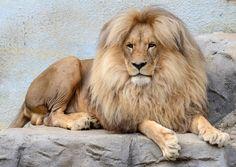 Un león adulto en su recinto del zoo de Labem, Chequia (Slavek Ruta, 2015)
