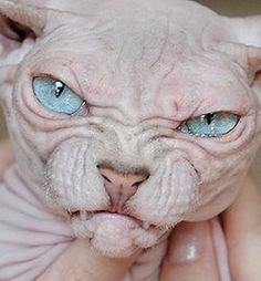 hairless cat - Google Search