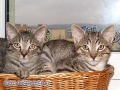 Laundry Basket, Wicker, Cats, Animals, Home Decor, Gatos, Animales, Decoration Home, Animaux