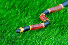 Serpiente de Coral. Su clasificación biológica la define como miembro de la familia Elapidae, por su condición venenosa y el hecho de habitar en zonas cálidas o tropicales. En ocasiones es llamada además serpiente de rabo de ají, pues posee una cola corta que la diferencia del resto de las especies.