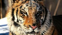 FREE TIGER PICTURE WALLPAPER - (#665) - HD Wallpapers - [WallpapersInHQ.com]