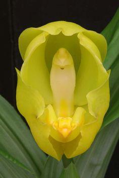 Orchid: Anguloa clowesia
